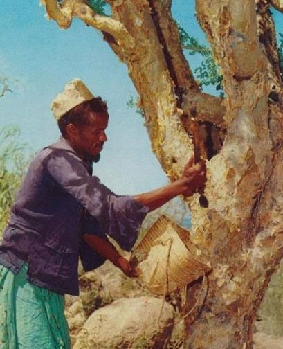 Man collecting myrrh in Somalia